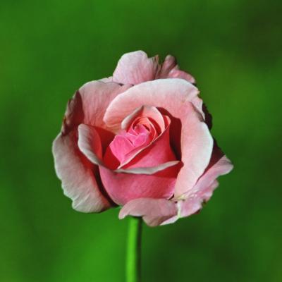 Прикрепленное изображение: Rose_filtered800.jpg