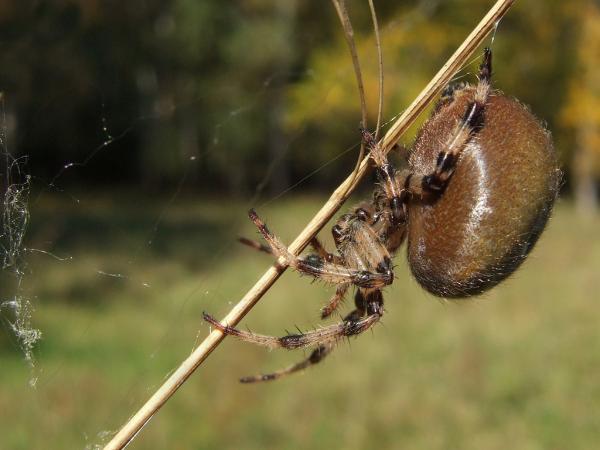 Прикрепленное изображение: 3z Araneus alsine.jpg