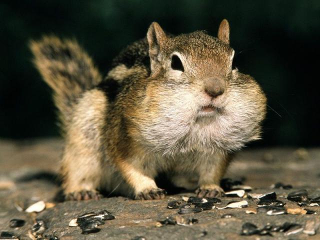 Прикрепленное изображение: Golden_mantled_Ground_Squirrel.jpg