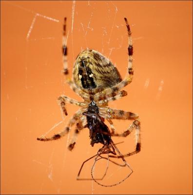 Прикрепленное изображение: Spider_small.jpg
