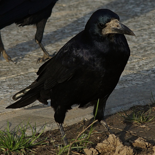 Прикрепленное изображение: Raven 1.jpg