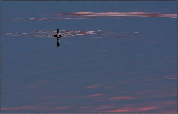 Прикрепленное изображение: Чомга ..JPG