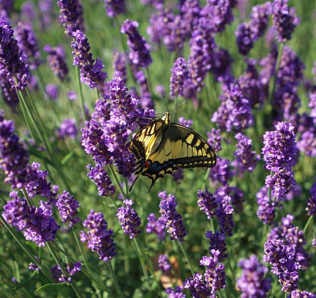 Прикрепленное изображение: бабочка.jpg