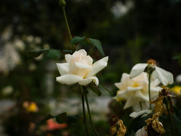 Прикрепленное изображение: Rose1.jpg