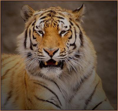Прикрепленное изображение: tiger2.jpg