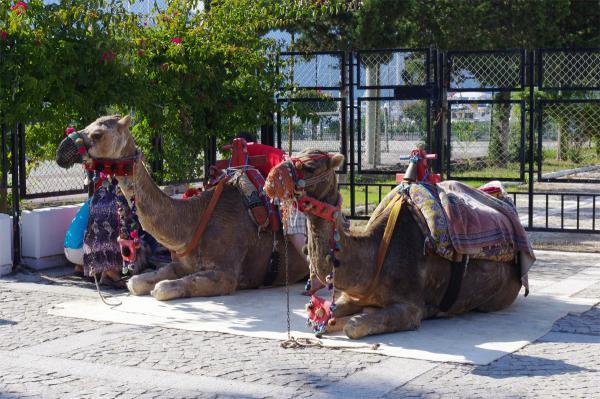 Прикрепленное изображение: Camel.jpg