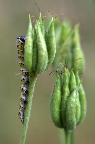 Прикрепленное изображение: гусеница2.jpg