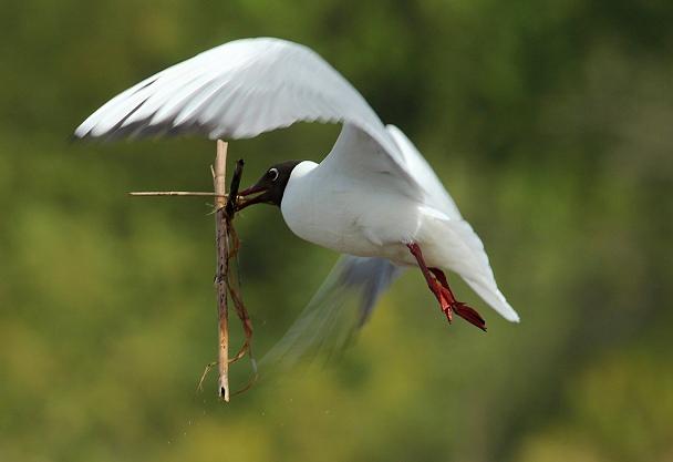 Прикрепленное изображение: Озерная чайка.jpg