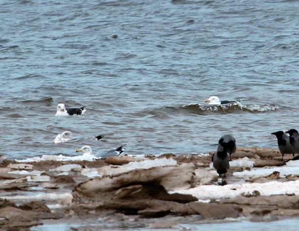 Прикрепленное изображение: Морская чайка.jpg