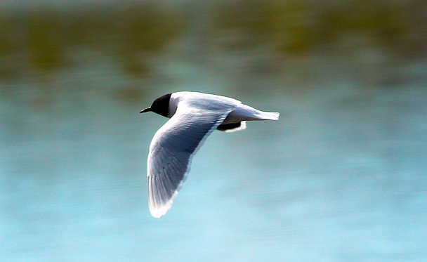 Прикрепленное изображение: Малая чайка.jpg