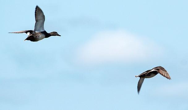 Прикрепленное изображение: Серая утка самец.jpg