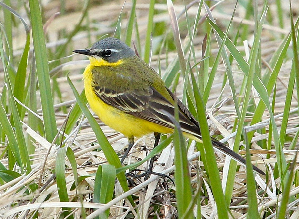 Прикрепленное изображение: Желтая трясогузка самец.jpg