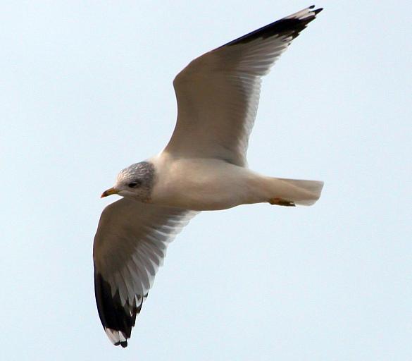 Прикрепленное изображение: Сизая чайка1.jpg