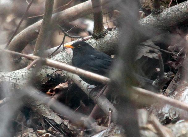 Прикрепленное изображение: черный дрозд самец.jpg
