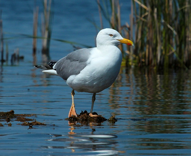 Прикрепленное изображение: Серебристая чайка.jpg