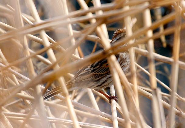 Прикрепленное изображение: Тростниковая самка.jpg