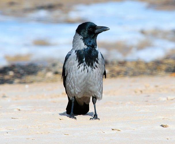 Прикрепленное изображение: Ворона.jpg