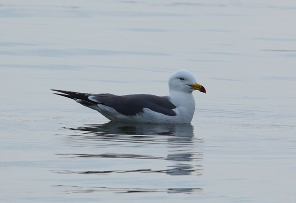 Прикрепленное изображение: Чернохвостая чайка.jpg
