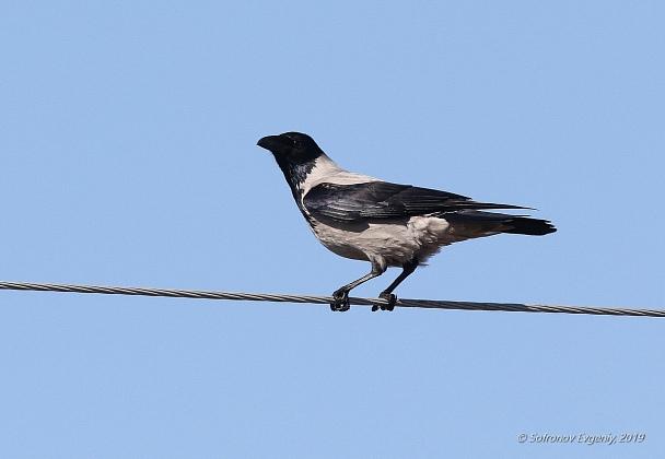 Прикрепленное изображение: 51 - Серая ворона.jpg