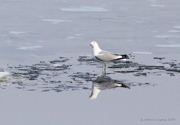 Прикрепленное изображение: 53 - Сизая чайка.jpg