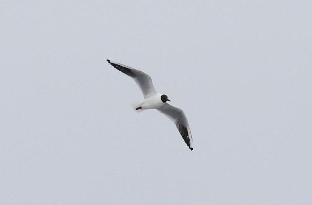 Прикрепленное изображение: 23 - Озёрная чайка.JPG
