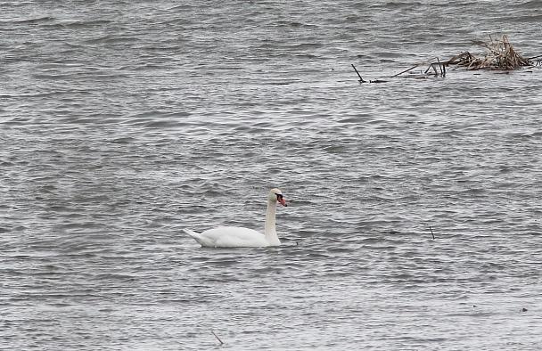 Прикрепленное изображение: 34 - Лебедь-шипун.JPG