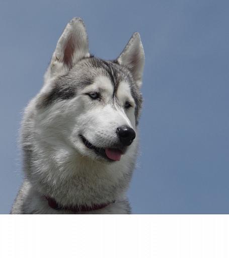 Прикрепленное изображение: husky 4.jpg