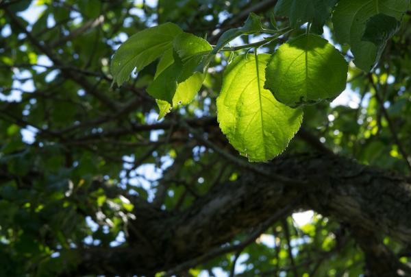 Прикрепленное изображение: leafs.jpg