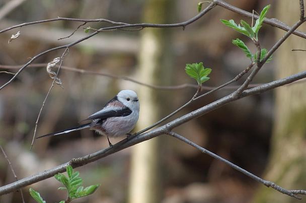 Прикрепленное изображение: Ополовник - чудо птица Длиннохвостая синица.jpg